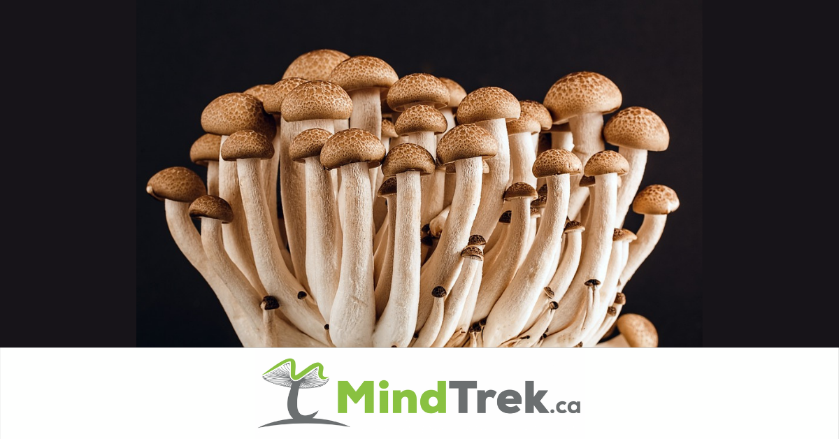 Shrooms for Therapeutic use for Anxiety, Addiction and Headaches