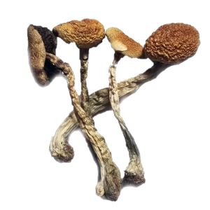 Mexican Magic Mushrooms Online