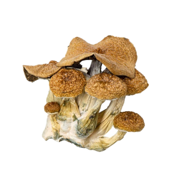 magic mushrooms - buy shrooms Canada